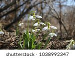 snowdrops. galanthus elwesii ... | Shutterstock . vector #1038992347