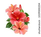 tender pink hibiscus flowers... | Shutterstock . vector #1039000204