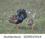 reeve  philomachus pugnax  | Shutterstock . vector #1039015414