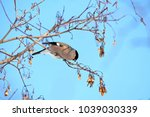 female bullfinch sitting on... | Shutterstock . vector #1039030339