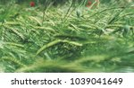 red poppies flowers and green... | Shutterstock . vector #1039041649