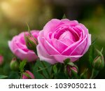 Stock photo pink of damask rose flower with sunlight rosa damascena 1039050211