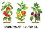 tomato plant  bell pepper plant ... | Shutterstock .eps vector #103905437