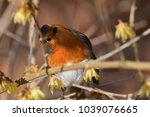 Small photo of Portrait of a European robin perching on a branch (Erithacus rubecula)