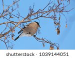female bullfinch sitting on... | Shutterstock . vector #1039144051