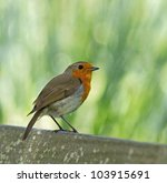 adult european robin perched on ... | Shutterstock . vector #103915691