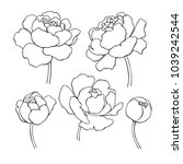 peony line drawing. vector hand ... | Shutterstock .eps vector #1039242544