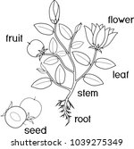coloring page. parts of plant.... | Shutterstock .eps vector #1039275349