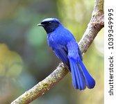 beautiful blue bird  male of... | Shutterstock . vector #1039349995