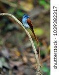 asian paradise flycatcher in... | Shutterstock . vector #1039382317