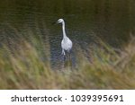 great white heron or great... | Shutterstock . vector #1039395691