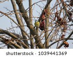 Small photo of Blue tit close up on persimmon fruit tree in autumn in Italy Latin name cyanistes caeruleus from the paridae family of passeriformes