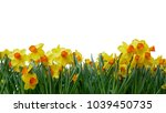 bright yellow of easter bells... | Shutterstock . vector #1039450735