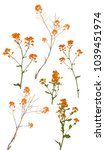 wild mustard flowers isolated... | Shutterstock . vector #1039451974