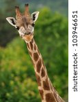 Giraffe Head With Neck Isolate...