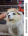 Small photo of Happy face of Alpaca in farm. Alpaca(Vicugna pacos) is a domesticated species of South American camelid. Have white fur colour and some brown. The alpaca eat carrot from human hand who feed it to them