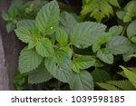 mint. mentha. bushes mint.... | Shutterstock . vector #1039598185