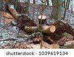 stumps of felled trees  felled... | Shutterstock . vector #1039619134