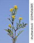 Small photo of Creeping yellowcress (Rorippa sylvestris)