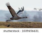 common crane in hornborgasj n...   Shutterstock . vector #1039656631