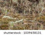 king eider  somateria... | Shutterstock . vector #1039658131