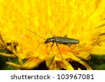 Small photo of Oedemeridae fall on dandelions spend