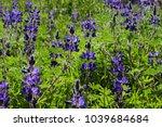 Blissom Of Wild Flowers Lupine...