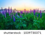 flowering lupines  summer... | Shutterstock . vector #1039730371