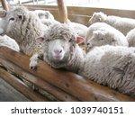 Cute Lambs In Their Farm.