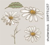ink chamomile herbal... | Shutterstock .eps vector #1039751257