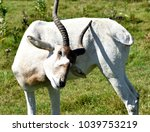 Small photo of Saint-Bernard-de-Lacolle, QC/Canada - 8/28/2017: An addax scratches itself while roaming in Parc Safari