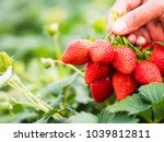 strawberries in natural... | Shutterstock . vector #1039812811