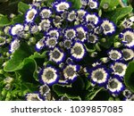 Cineraria Flowers In White And...
