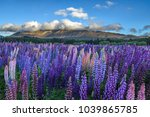 blooming lupin flowers come in... | Shutterstock . vector #1039865785