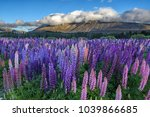 blooming lupin flowers when the ... | Shutterstock . vector #1039866685