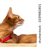 Small photo of Abyssinian cat in profile isolated on white.