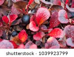 Small photo of Arctostaphylos alpina, with the common names alpine bearberry, mountain bearberry, or black bearberry is a dwarf shrub in the heather family Ericaceae. Red leaves in autumn, Alaska.