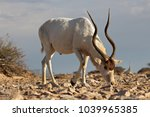 Small photo of Male Addax in Africa with big horns