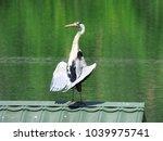 single grey heron  ardea...   Shutterstock . vector #1039975741