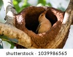 Small photo of Rufous Hornero. The bird that builds its house from clay to procreate. Joao de Barro. Furnarius rufus. Nest.