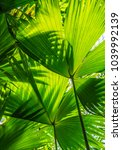 beautiful green palm leaves of... | Shutterstock . vector #1039992139