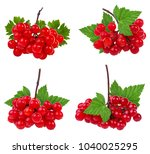 red berries of viburnum  arrow... | Shutterstock . vector #1040025295