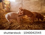 a small piglet in the farm.... | Shutterstock . vector #1040042545