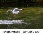 Small photo of Close -up photo of a fishing seagull in a middle of of drops of water. Isolated bird on green background. Caspian Gull, Larus cachinmans