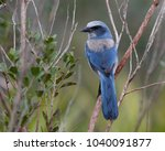 florida scrub jay  aphelocoma... | Shutterstock . vector #1040091877