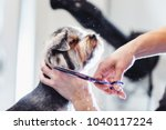 Stock photo female groomer haircut yorkshire terrier on the table for grooming in the beauty salon for dogs 1040117224