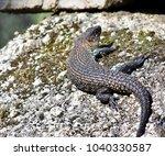 beautiful lizard  skink ... | Shutterstock . vector #1040330587