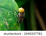 hoverfly  fly flower or serpent ...   Shutterstock . vector #1040337781