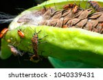 red bug  cotton stainer  red...   Shutterstock . vector #1040339431