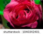 beautiful close up red roses...   Shutterstock . vector #1040342401